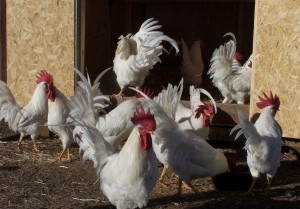 These 18 roosters were set to be destroyed by the egg industry shortly after hatching.