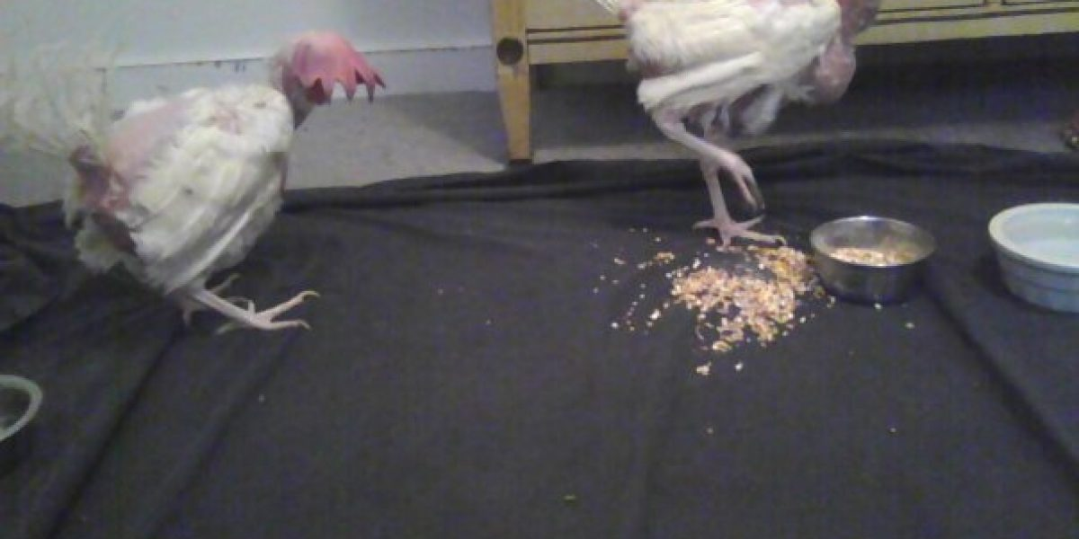 Penelope and Josephine were rescued from a free range egg facility where they had never experienced sunlight or freedom. Both debeaked and defeated, these hens were able to experience life as it should be after we rescued them.